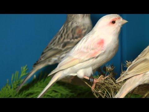 Волшебный дуэт пение канарейки и соловья звуки природы пение птиц.
