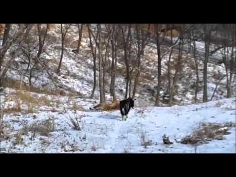 свежее видео об амуре и тимуре
