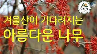 이나무  붉은열매 산림 임업 농업  약초 귀농 귀촌 약…