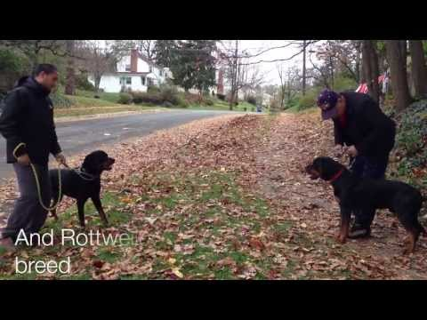 Socializing A Rottweiler Dog