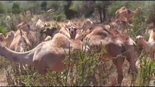Camel herd on Africa River cam. 19 January 2017