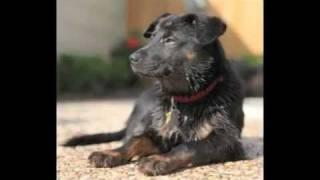 Luna | Akita/doberman Pinscher Mix - Adoption Ready