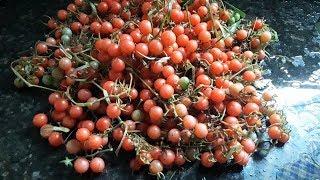 Como Colher 4 quilos de Tomate Cereja em 5 Pés – Sem Agrotóxico