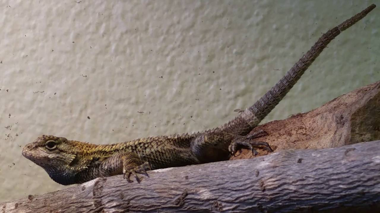 Western Fence Lizard Care What You Will Need And How To Sex Them