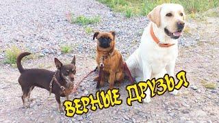 ПРО ДРУЖБУ СОБАК/ЧИХУАХУА,ЛАБРАДОР,БРАБАНСОН. осторожно вертикаль/DOGS FRIENDSHIP