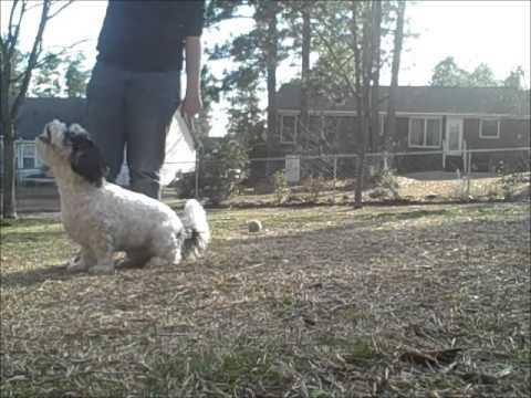 Amazing Dog Tricks by Taz the Cavachon