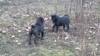 Мопсы  черные