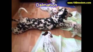 Dalmation, Puppies, For, Sale, In, Gresham, Oregon, County, Or, Multnomah, Washington, Clackamas, La