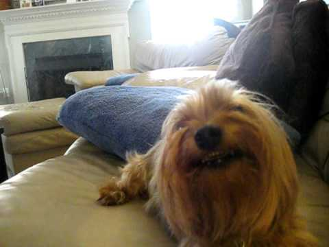 Baxter the Smiling Yorkie