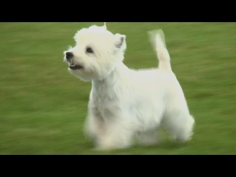 Best Puppy in Show - Blackpool Championship Dog Show 2015