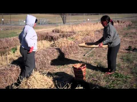 Montagnard Rice Harvest at NCAT