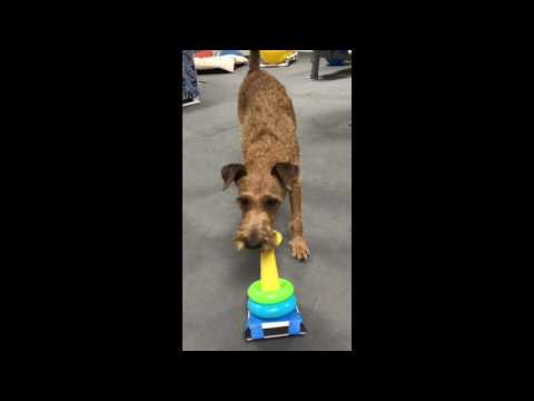 Irish Terrier tricks Harper Ring Stacking