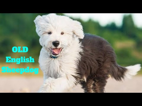 Old English Sheepdog | amazing facts in hindi | Animal Channel Hindi