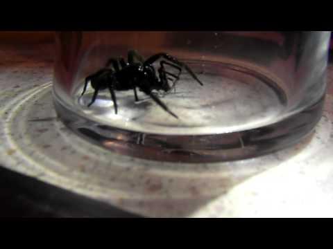 funnel web vs red back spider