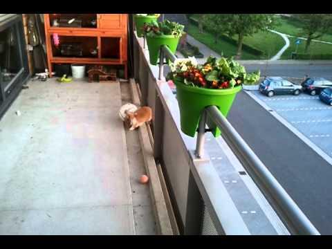 Britt (Konijn) voetbalt op het balkon