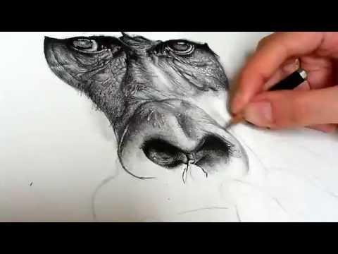 Speed Drawing - Gorilla's Gaze