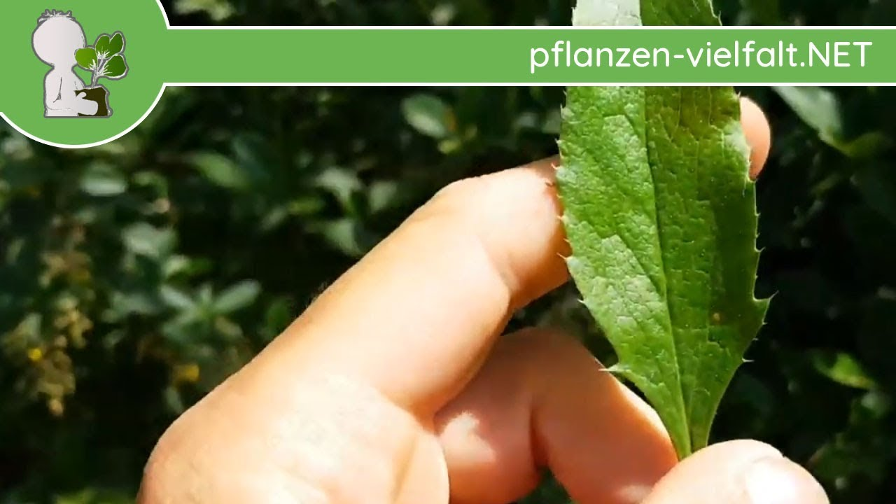 Geliebte Gew. Berberitze - Blatt/Blätter - 09.05.18 (Berberis vulgaris &AS_66