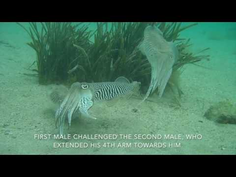 Dramatic fighting by male cuttlefish for a female mate
