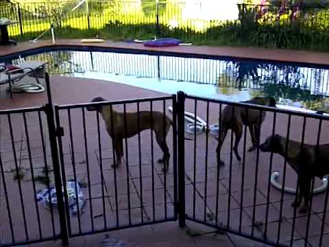 Rhodesian Ridgeback Dog Jumping A Pool Fence