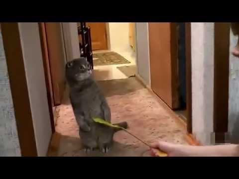 Scottish Fold playtime interrupted by doorbell (Standing)