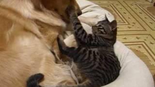 ゴールデンレトリバーと猫が一緒に寝てるところで撮ってたら起きてしま...