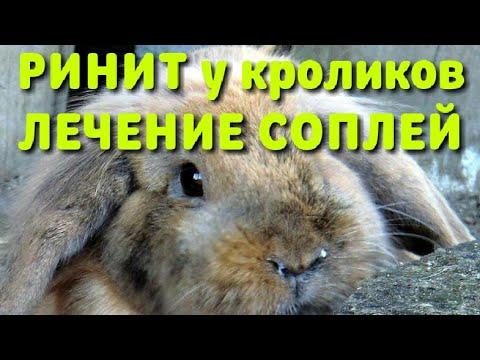 Лечение насморка у кролика быстро и просто! Ринит и лечение кролика!
