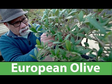 European Olive Bonsai Winter Pruning and Wiring