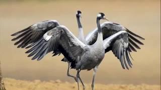 Фильм  Животный мир  Птицы, Жихнь журавля в природе