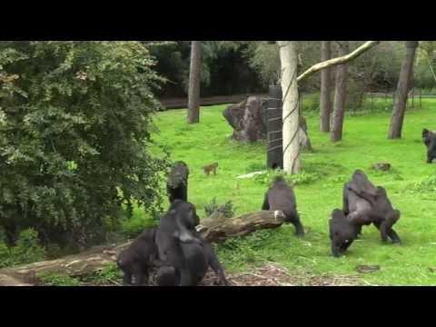 Burgers's Zoo: Gorilla's ontdekken Goudbuikmangabey