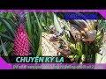 Tin tức 24h || Kỳ lạ quả dứa màu hồng và cây chuối hột nở 21 hoa