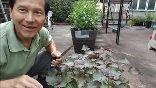 Cách bảo quản rau tía tô thu hoach mùa hè va dung trong mùa đông tai New York, MY