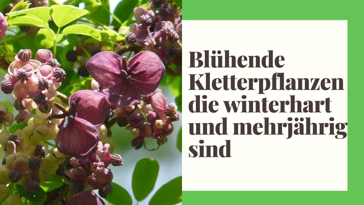 13 Blühende Kletterpflanzen, die winterhart und mehrjährig sind