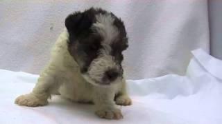 かわいいワイヤーフォックステリアの子犬が生まれました!優良ブリーダ...
