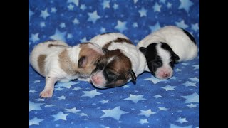 Coton Puppies For Sale - 6/30/20