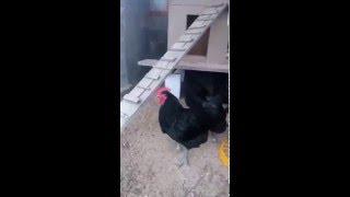 Chicken JERSEY GIANT - Jerzejský obor