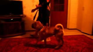 Дрессировка собак на пансионе г. Житомир т. 0963767961