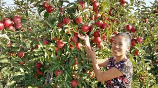 Gambar cover Visiting Apple and Pear farm in Netherlands