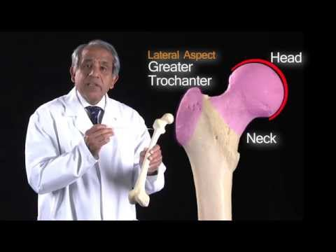 Lower Limb Femur - Anatomy Tutorial
