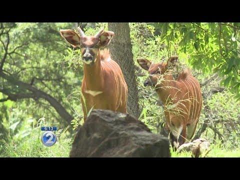Honolulu Zoo's new bongo antelopes delight visitors