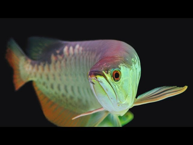 AMAZING DRAGON FISH and Amazing catch dragon fish, Endangered Species Laws May Endanger Species