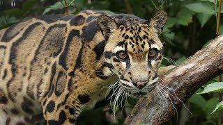 Карточки Домана. Животные. Дымчатый леопард, снежный барс, сервал, оцелот
