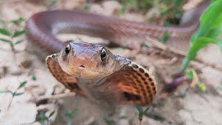शिकार करने निकला कोबरा कुंए में गिरा देखिए कैसे रेस्क्यू किया गया