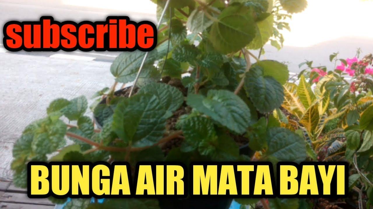 Perbanyakan Bunga Air Mata Bayi Youtube