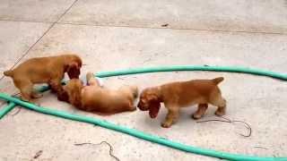 Milk Jug Toy Training! Dusty/groovy Pups 10 Weeks