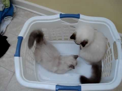 Ragdoll Kittens Playing in a Laundry Basket - ラグドール - Floppycats
