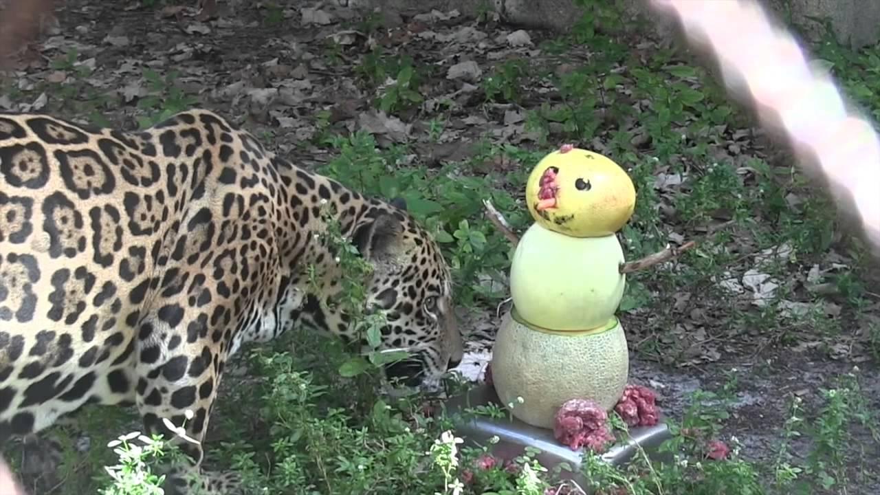 19-year-old jaguar receives a Florida \