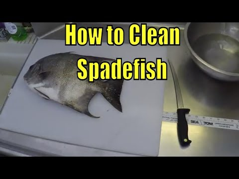 How To Clean Spadefish