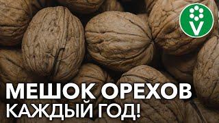 ПРОВЕРЕННЫЙ способ посадки ГРЕЦКОГО ОРЕХА из семян!
