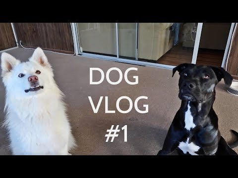 Living with a Pitbull and a Husky - DOG VLOG #1