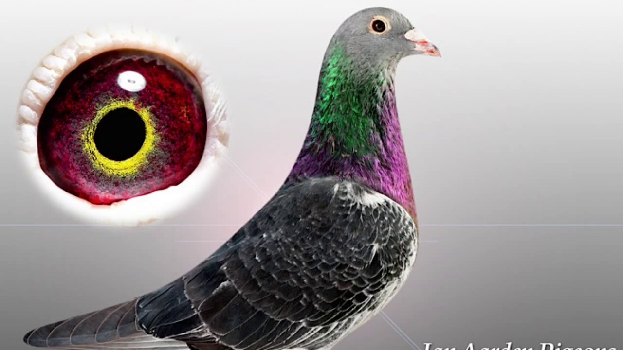 best racing pigeon and eye signs youtube